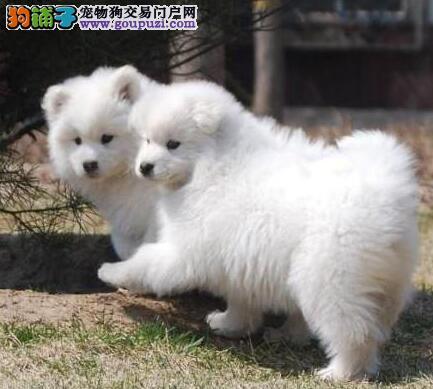 出售上海家养纯种本地萨摩耶 拉布拉多宝宝