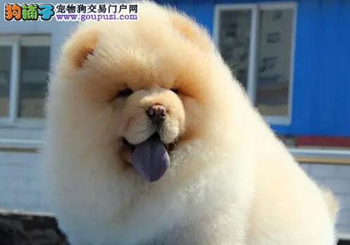青岛大型犬舍出售精品松狮犬 保健康保纯种 信誉第一