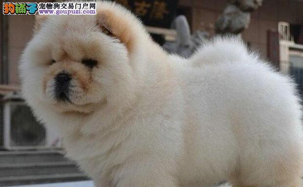欢迎来南宁犬舍直接购买纯种松狮犬 冠军级血系价格低