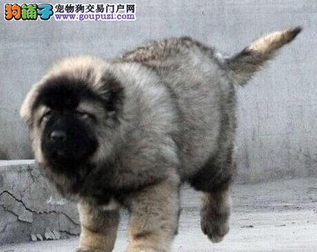 杭州基地出售大骨架高加索犬保健康质保终身3