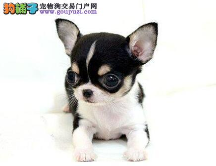 出售宠物狗吉娃娃幼犬 防疫驱虫已做完 可见狗父母