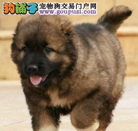 杭州基地出售大骨架高加索犬保健康质保终身4