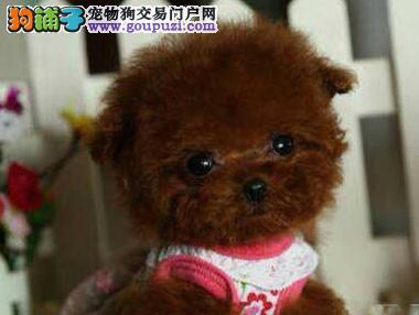 顶级泰迪熊犬 保纯种健康 CKU认证犬舍 可签协议