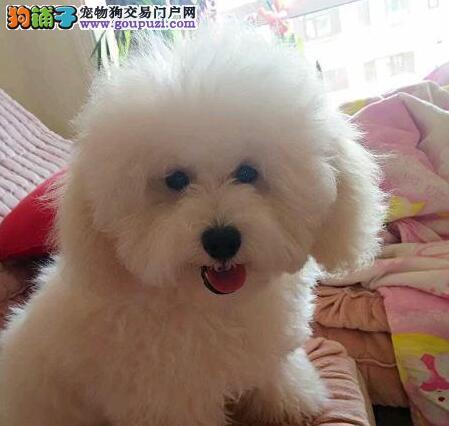 特价直销纯种韩系大连贵宾犬 上门购买可赠送狗狗用品