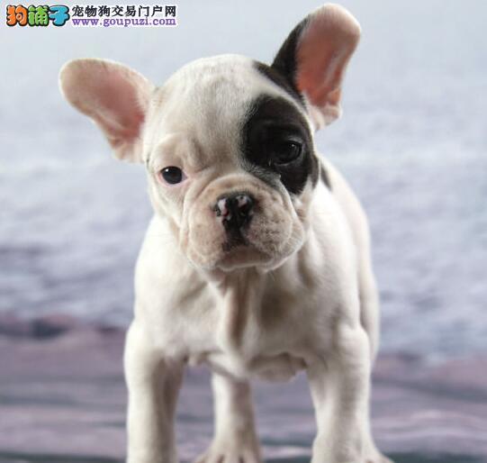 出售纯种健康的法国斗牛犬幼犬签订协议终身质保