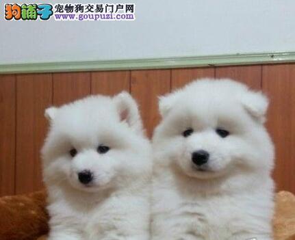 萨摩耶最大的正规犬舍完美售后签正规合同请放心购买