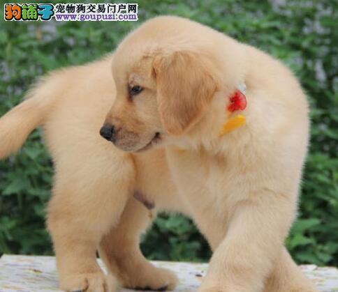 郑州直销金毛幼犬 终生包纯种包健康包养活签协议2
