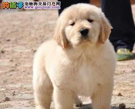 大骨架广州金毛犬低价出售 血统清楚已做好驱虫疫苗
