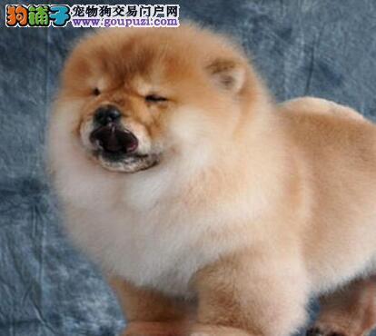 出售胖嘟嘟的小松狮幼犬啦