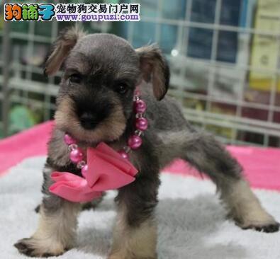 雪纳瑞犬椒盐色跟灰银色的迷你雪纳瑞幼犬聪明老头狗3