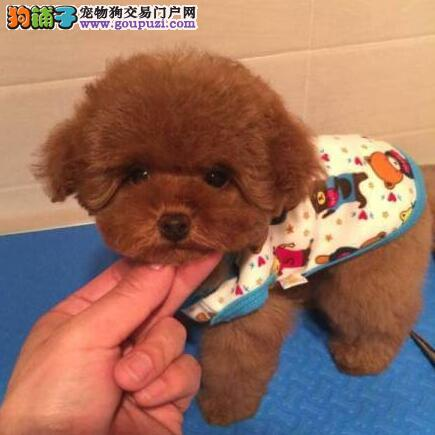 精品泰迪犬幼犬一对一视频服务买着放心金牌店铺有保障