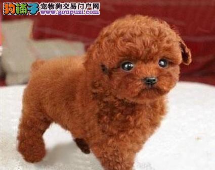 纯种茶杯体玩具体爆毛泰迪犬 苹果头大眼睛颜色齐全