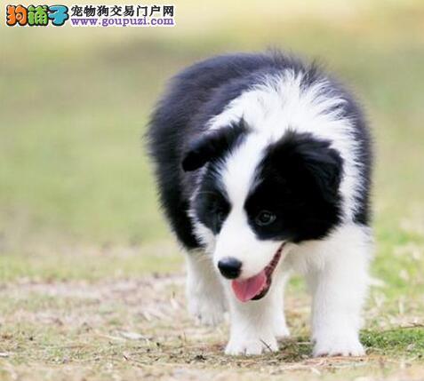 郑州专业犬舍直销优秀边境牧羊犬 七白到位可签合同
