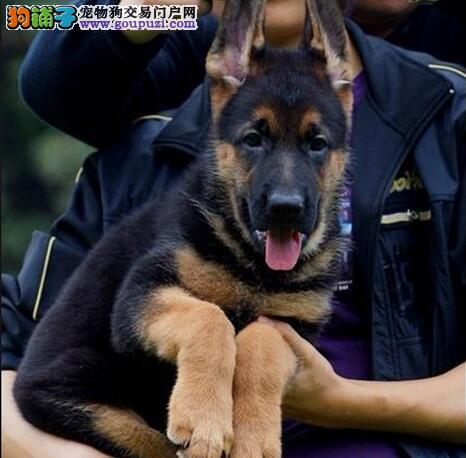 火热预定-德牧幼犬*黑脸-弓背*高品质-保健康。
