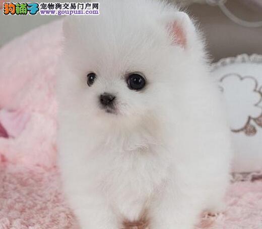 正规养殖场转让健康博美犬杭州地区购犬送狗粮