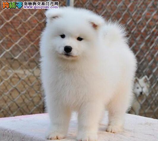 热卖萨摩耶多只挑选视频看狗专业繁殖中心值得信赖