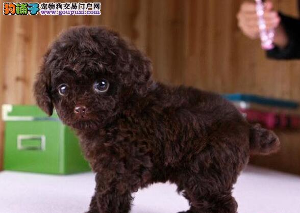 出售纯种韩国小体广州泰迪熊幼犬 买的放心 养得开心