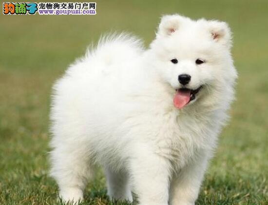 怎么判断萨摩耶纯不纯,怎么鉴别萨摩耶幼犬