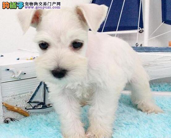 纯种雪纳瑞幼犬,专业繁殖血统纯正,诚信经营保障
