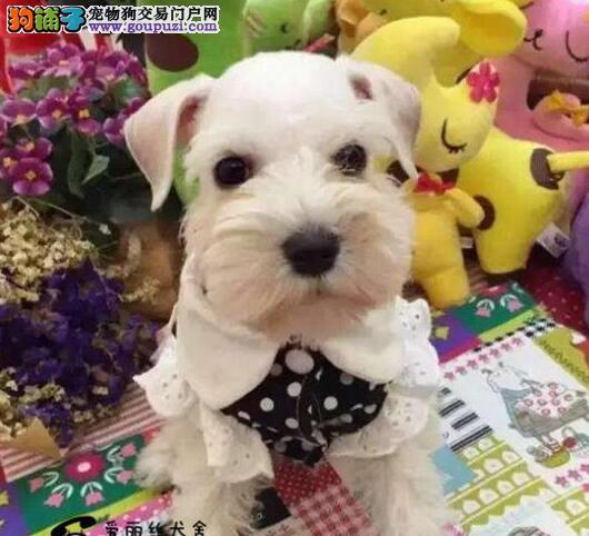 南京犬舍低价热销 雪纳瑞血统纯正专业繁殖中心值得信赖