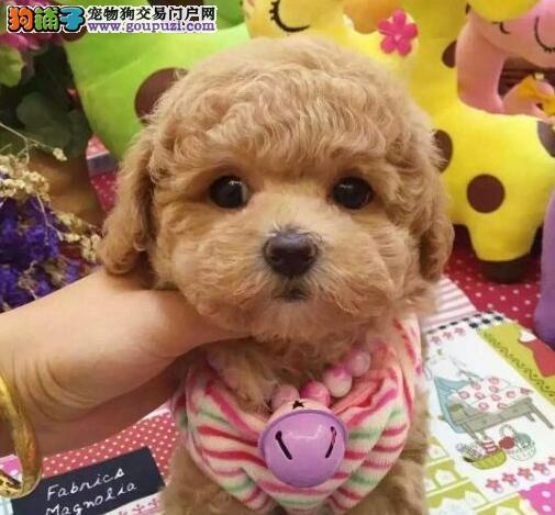杭州家养精品茶杯犬玩具泰迪犬贵宾狗宠物狗包健康3