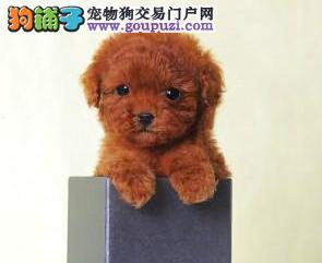 杭州家养精品茶杯犬玩具泰迪犬贵宾狗宠物狗包健康1