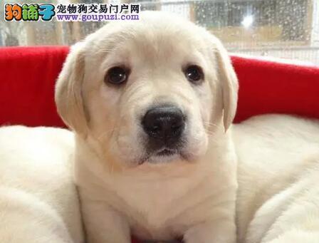 北京售赛级拉布拉多犬大头拉拉神犬小七幼犬