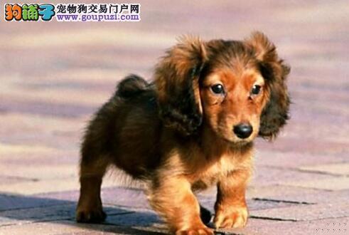 告诉你优秀腊肠犬肩高与颈部的特点