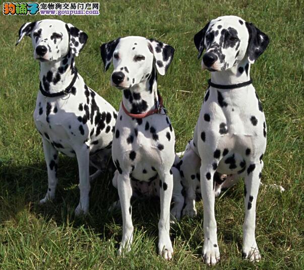 总结一下挑选斑点狗的技巧与要点