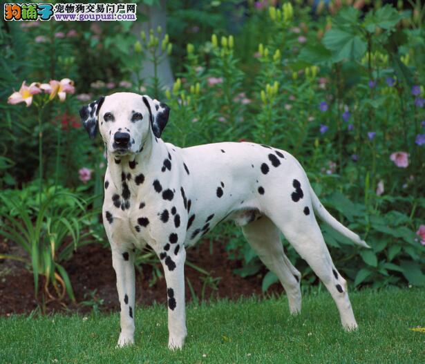 购买无障碍 熟悉斑点狗的特征和优点