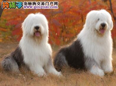 古代牧羊犬身上的颜色是怎样的
