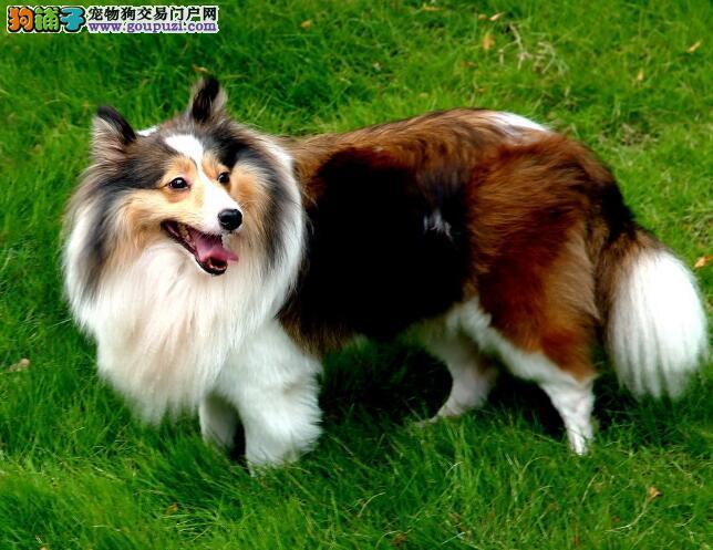 怎样在挑选的时候衡量苏格兰牧羊犬的能力