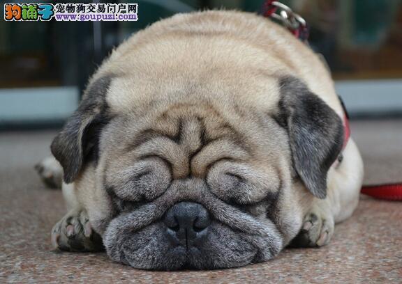 狗狗档案之沙皮狗头部的基本特征