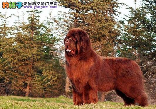 详情介绍 纽芬兰犬各个部位的特征