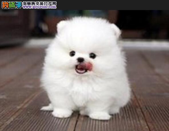 选择纯种博美犬幼犬的标准