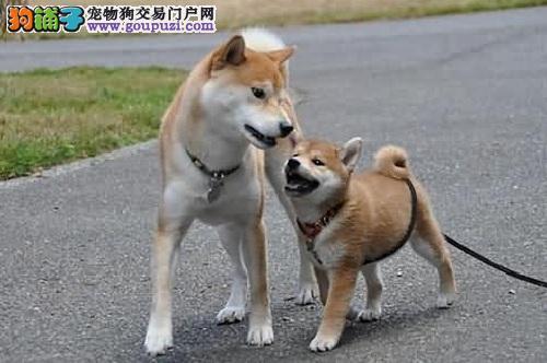 区分秋田犬和柴犬的小技巧