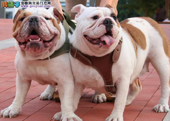 购买斗牛犬的方法 健康狗狗的选择