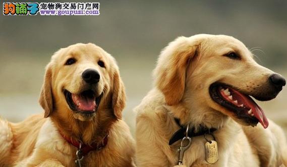 金毛犬和拉布拉多犬的区别