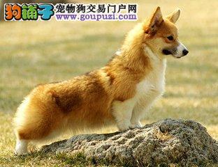 柯基犬性格分析饲养必读
