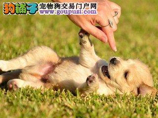 全球最受欢迎犬类品种50强