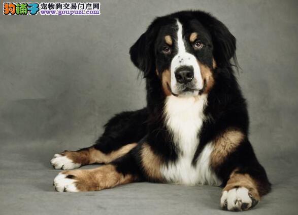 倍受关注的伯恩山犬具备的几点特征有哪些
