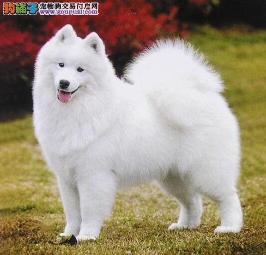 获取狗狗信息 了解萨摩耶的性格有哪些特点