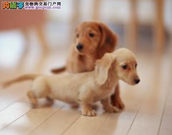 腊肠犬的性格是怎样的?具有哪些特点