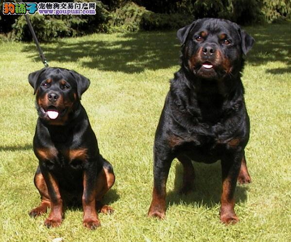 挑选优秀的罗威纳犬有哪些小妙招