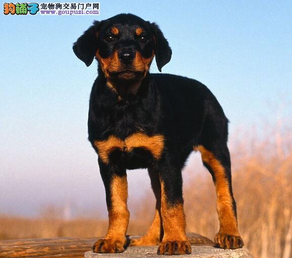 懂事听话的罗威纳犬是怎样挑选出来