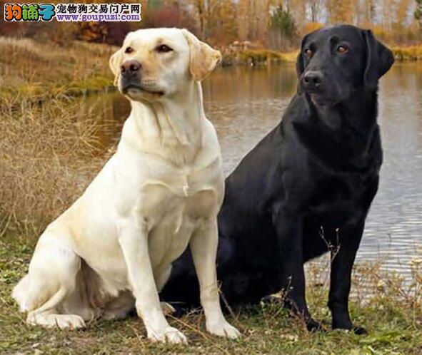 你应该了解的关于拉布拉多犬的特征