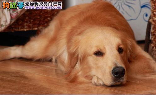 区别金毛犬的典型特点与缺陷