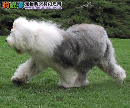 古代牧羊犬的整体特征与被毛特点