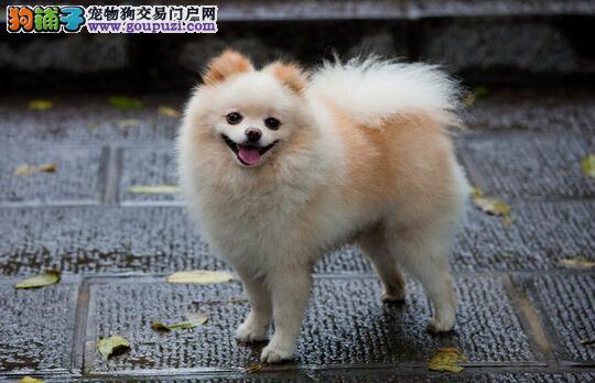 优秀的博美犬具有哪些优良的本性