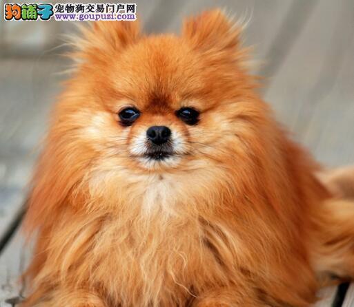 挑选必要知识 关注博美犬的体型与性格特点